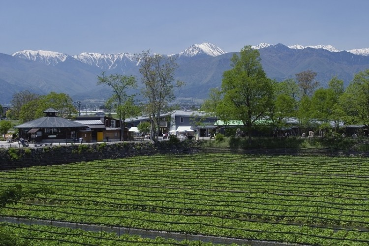 Daio Wasabi - Nông trại nổi tiếng Nhật Bản